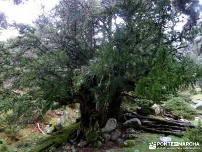 Tejos Milenarios de Valhondillo -Tejos de Rascafría; Taxus Baccata;trekking semana santa